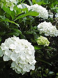 白い紫陽花…