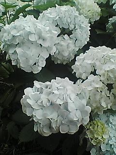 紫陽花3色…