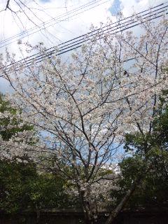 三ノ宮の桜…