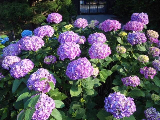紫陽花が見頃…