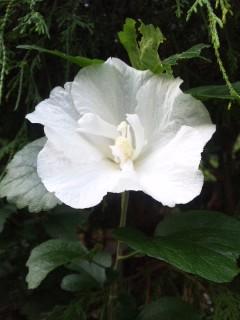 芙蓉の花…