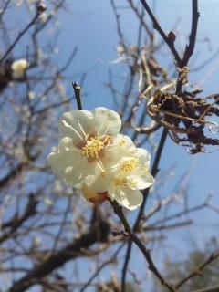 梅の花と青空…