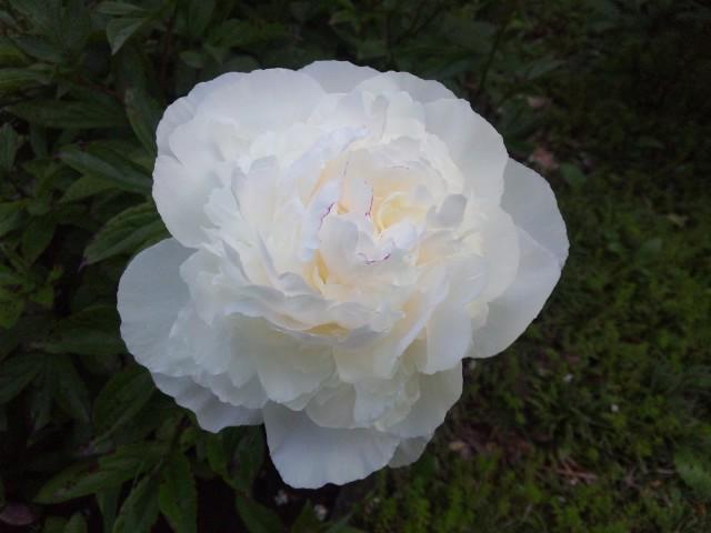 白い芍薬…