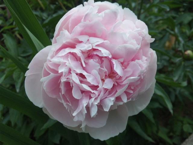 ピンク色の芍薬…