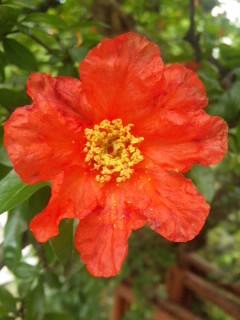 ザクロの花…