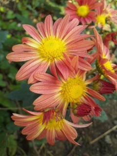 我が家の菊たち…