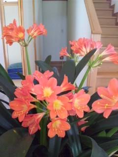 君子蘭と胡蝶蘭…