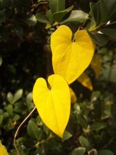 山芋の葉…