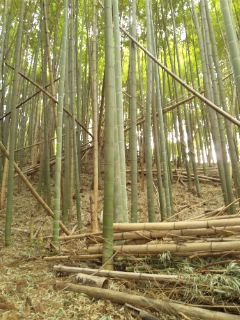 竹やぶにて…